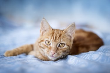A ginger tabby cat lying on a blue bed cover