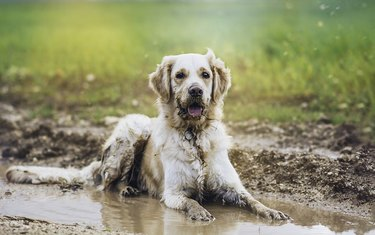 Golden retriever in a mud puddle