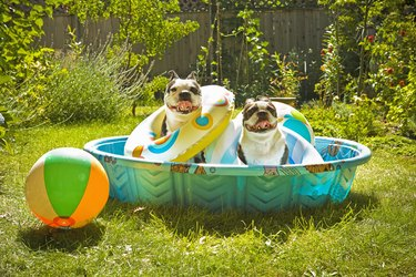 Two Boston Terriers with life preservers in a wading pool