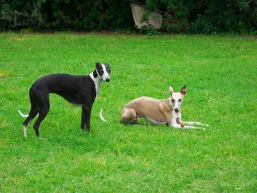 Portrait of two black greyhounds in the garden