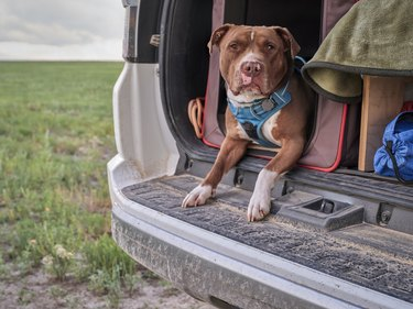 red nose pitbull dog in a travel cage