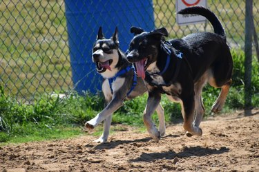 Dogs Running with Black Dog Off Ground