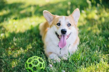 Corgi dog lying on the lawn with a ball during the day