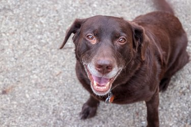 Chocolate labrador retriever is smiling at camera with his gray muzzle