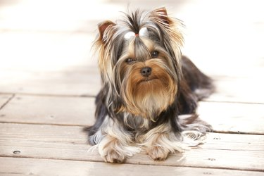 Young Yorkshire Terrier Puppy Lying on Deck Outside