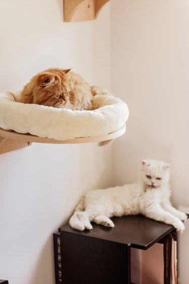 Brown and white persian cats