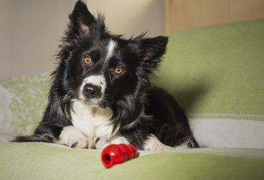 Beautiful portrait of a border collie puppy with his game on the couch