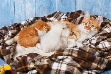 Cat nursing her little kittens at plaid blanket