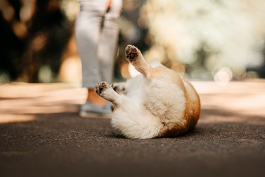 funny corgi dog rolling on the ground, rear view