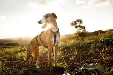 Portrait of smiling Whippet in a field