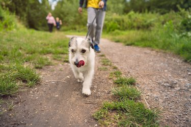Small dog leading the way on a walk in a park