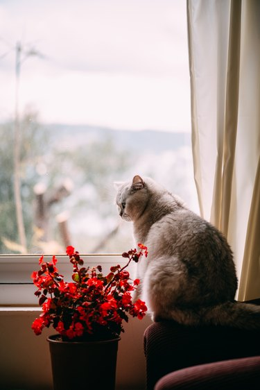 British Shorthair Cat is Watching Out of the Window