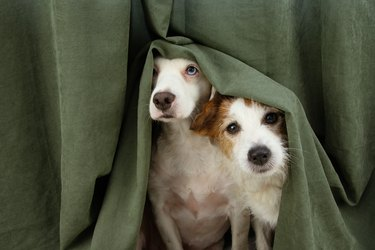 two scared or afraid puppy dogs wrapped with a curtain.