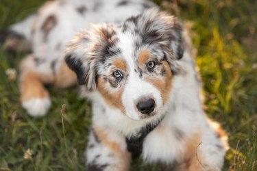 Australian Shepherd puppy lying on grass