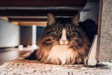 Domestic cat sitting under the couch