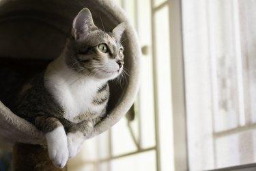 Closeup shorthair cat sitting on cat tree or condo