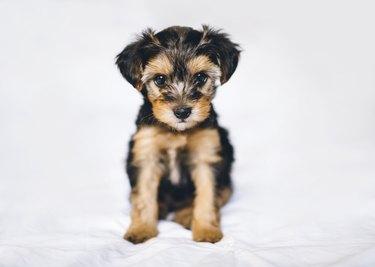 Cute Yorkiepoo Puppy