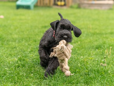 Young Black Riesenschnauzer or Giant Schnauzer dog on the grass.
