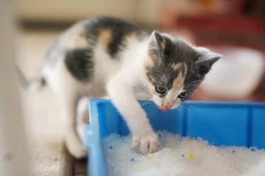 Cute little kitten scratching around in his litter box