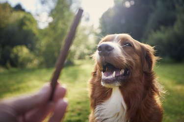 Pet Owner Holding Treat For His Dog. Nova Scotia Duck Tolling Retriever During Obedience Training.