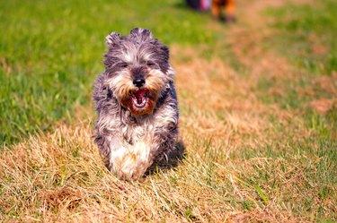 Running dog in field