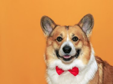 puppy corgi dogs with big ears on yellow isolated background portrait