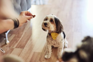 Woman's hand reaching out to giving small dog a treat at home