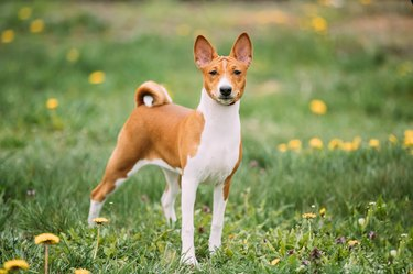 Basenji Kongo Terrier Dog. The Basenji Is A Breed Of Hunting Dog. It Was Bred From Stock That Originated In Central Africa