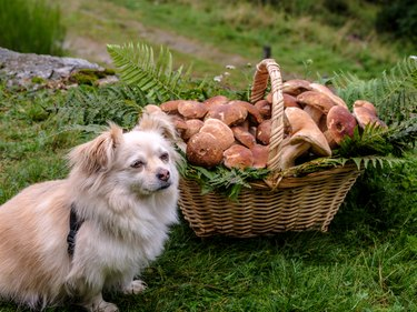 Basket of porcini mushrooms with a small dog nearby