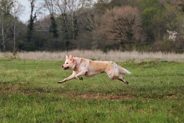 Half breed white Swiss Shepherd dog runs fast and actively on green grass and enjoys life. A happy domestic dog without a breed. White mongrel dog walks in park.