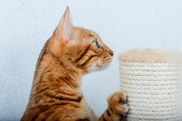 Domestic cat using a scratching post in the room, close-up