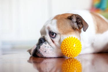 close up  dog  with plastic ball