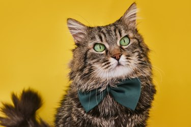 Funny cat in bow tie and glasses sitting on yellow background