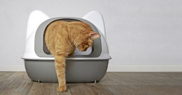 Ginger cat going out of a litter box. Panramic image with copy space for your individual text.