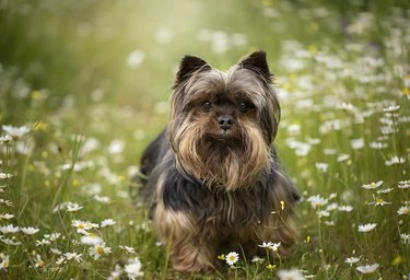 Yorkshire terrier in field of daisies
