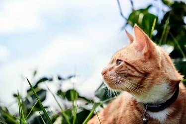 Gorgeous red ginger cat exploring in a garden with a blue sky in the background.