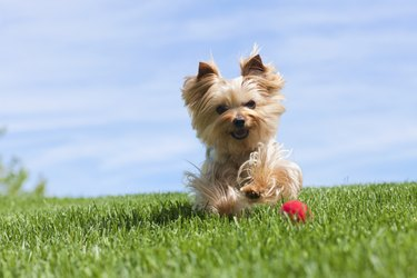 Yorkshire Terrier Dog Running Outdoors