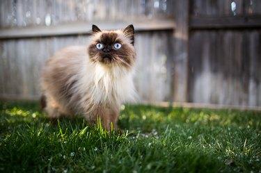 Himalayan cat outdoors