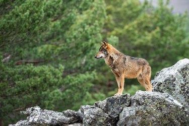 Side view of deer standing on rock, Puebla de Sanabria, Spain
