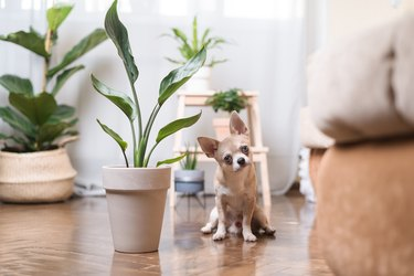 Chihuahua dog sitting on the floor near plant. Puppy relax at home.