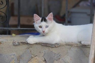 Van kitten with blue and amber eyes, having have heterochromia (having one eye of each color)