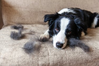 Funny portrait of cute puppy dog border collie with fur in moulting lying down on couch. Furry little dog and wool in annual spring or autumn molt at home indoor. Pet hygiene allergy grooming concept