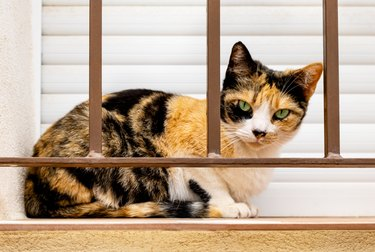 Domestic short-haired tricolor calico cat with green eyes in white, black and orange spots on fur sitting on windowsill behind security bars