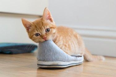 Ginger Kitten Eats Shoe