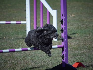 Black toy poodle jumping over agility hurdle. Facing right.