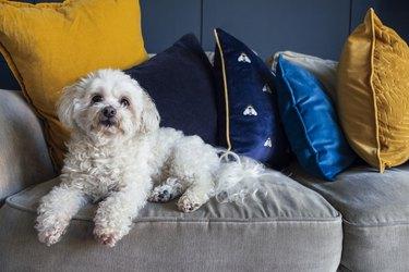 Cute Shih-Poo Relaxing at Home