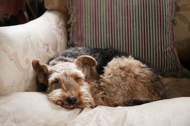 airedale dog curled up asleep on couch