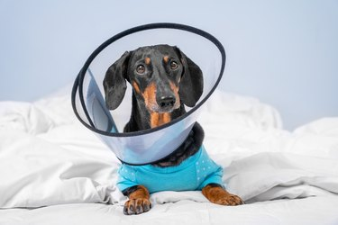 Sad dachshund dog wearing pajamas in rehabilitation is lying at home or in hospital room after treatment with surgery recovery collar around neck to prevent wound from licking, front view