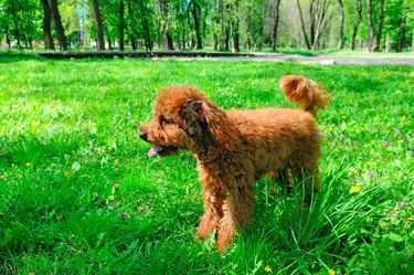 Miniature red poodle playing on a green lawn.
