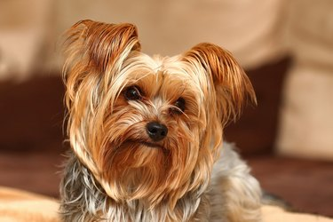 Close up of small brown dog